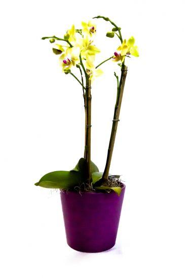 """4"""" PHALEONOPSIS Orchids Plant"""