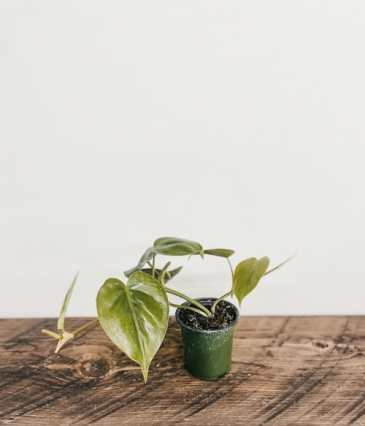"4"" Philodendron Heartleaf Plant"