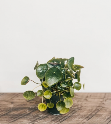 """4"""" Pilea Peperomioide, Chinese Money Plant Plant"""
