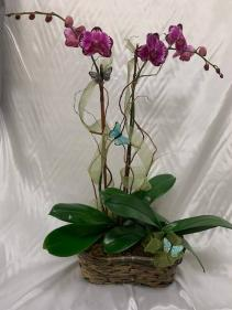 Orchid Plants  Orchid Arrangement