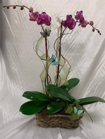 Orchid Plants  Orchid Arrangement