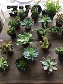 """4"""" Succulents Sold in Store"""