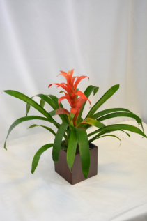 "4"" Tropical Bromeliad Blooming Plant"