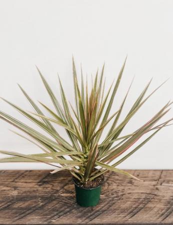 """4""""Dracaena Margianta 'BiColour',BiColour Dracaena Plant"""