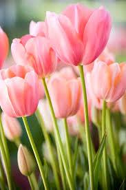 Bunch of tulips Tulips