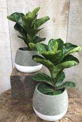 "5"" Ficus Lyrata Plant"