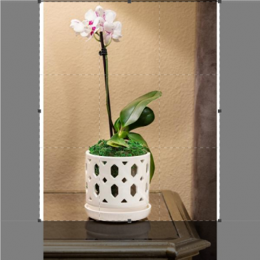 5 inch Potted Orchid