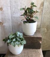 "5"" Pepermomia Plants"