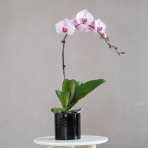 "5"" Single Stem Orchid Plant"