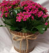 "6"" INDOOR KALANCHOE PLANT IN A CUTE  TIN POT! (COLOR OF PLANT MAY VARY)"