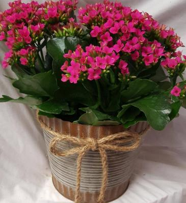 """6"""" INDOOR KALANCHOE PLANT IN A CUTE  TIN POT! (COLOR OF PLANT MAY VARY)"""
