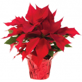 6.5 inch Poinsettia  Dressed up for Christmas , bows , pinecones, etc