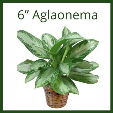 "6"" Aglaoenma"