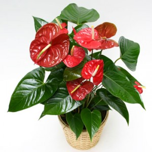 Anthurium Plant Basket in Astoria, OR | BLOOMIN CRAZY FLORAL