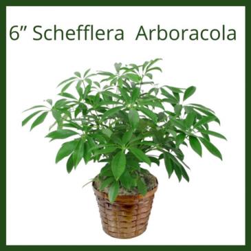 """6"""" Arboricola"""
