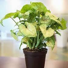 "6"" Arrow Plant Plant"