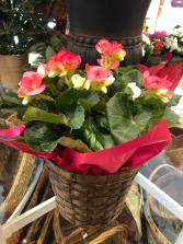Begonia Plant Blooming Plant