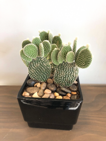 "6"" BUNNY EAR CACTUS (OPUNTIA MICRODASYS) **LOCAL DELIVERY ONLY"""