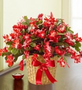 "6"" Christmas Cactus in Basket"