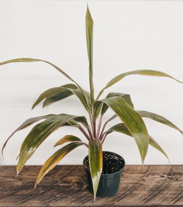 """6"""" Cordyline 'Kiwi' Plant"""