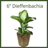"6"" Dieffenbachia"