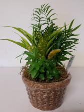 "6"" Dish Garden Plant"