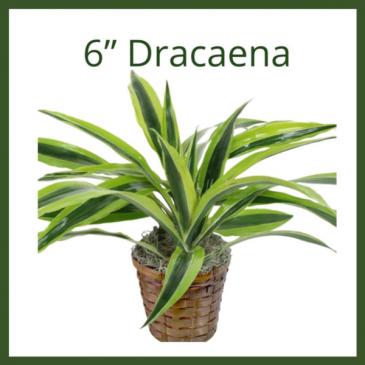 """6"""" Dracaena"""