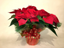"6"" Dressed Poinsettia Gift Christmas Planter"