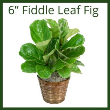 "6"" Fiddle Leaf Fig"