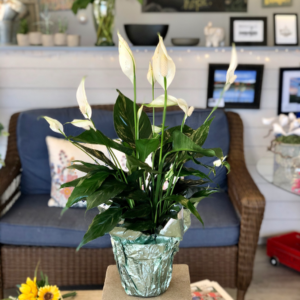 "6"" Peace Lily Foiled in Mattapoisett, MA 
