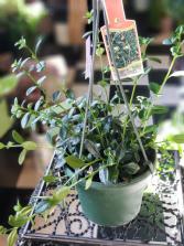 "6"" Goldfish Plant Hanging Plant"