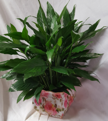 6 inch Peace Lily in  a nice pink floral tin  container!