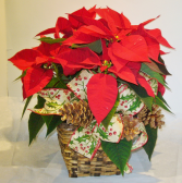 6 INCH POINSETTIA IN A BASKET Indoor Blooming Plant