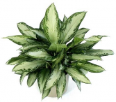 6 Inch Silver Bay Chinese Evergreen in Basket Green plant
