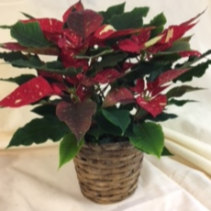 "6"" Jingle Bell Poinsettia Poinsettia in a basket"