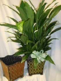 "6"" Peace Lily in a Tin Container with Bow."