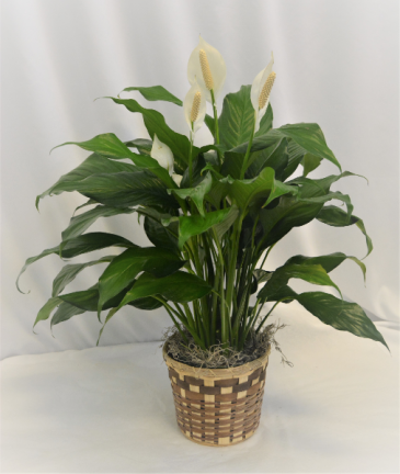 "6"" PEACE LILY IN BASKET 6"" BLOOMING PLANT"