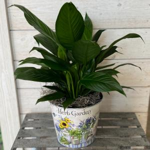 "6"" Peace Lily in Decorative Container in Mattapoisett, MA 