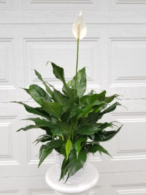 "6"" Peace Lily in White Basket"