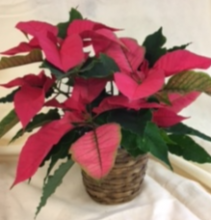 "6"" Pink Poinsettia poinsettia in a basket"