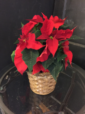 "8"" poinsettia in basket"