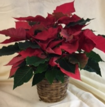 "6"" Poinsettia - Red poinsettia in a basket"