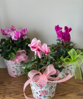6' POTTED CYCLAMEN
