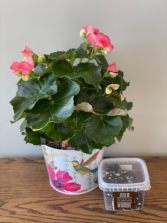 "6"" Reiger Potted  Begonia & Chocolate"