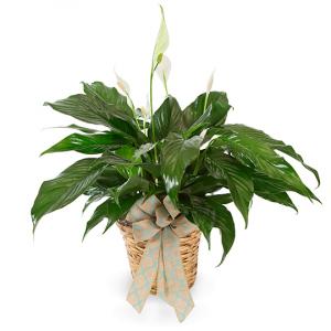 "6"" Spathiphyllum (Peace Lily) Plant in Bowman, SC | Seven Flowers Florist"
