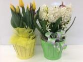 """6"""" Tulip, Daffodil or Hyacinth bulb plant"""