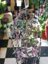 "6"" Wandering Jew Hanging Plant"