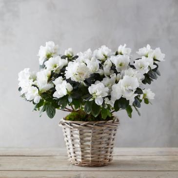 """6"""" White Azalea"""