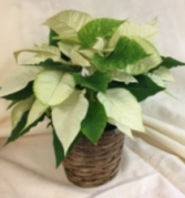 """6"""" White Poinsettia White poinsettia in basket"""