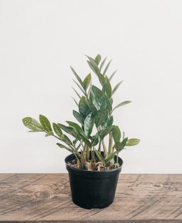 """6"""" Zamioculcas Zamiifolia, ZZ Plant Plant"""